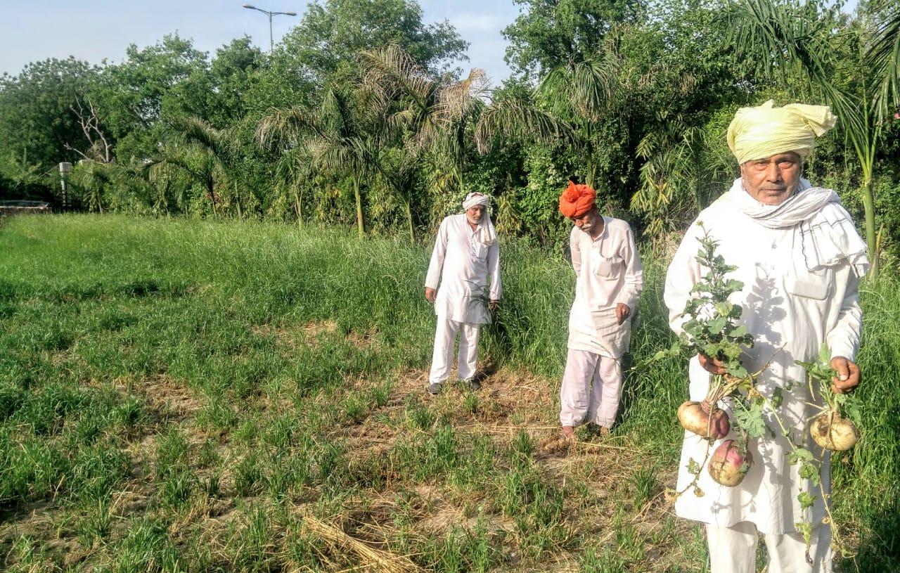 Farmer showing Turnip crop in fields